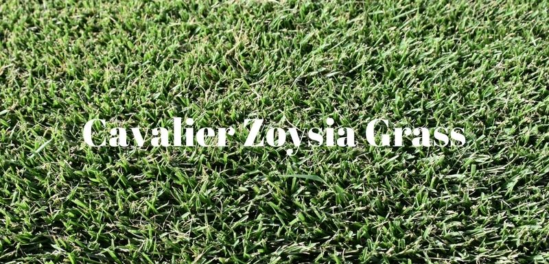 Cavalier Zoysia Grass from Houston Grass South